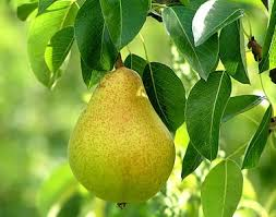 Early Gold pear tree